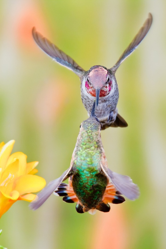 Rufous-Allens-Hummingbird-18